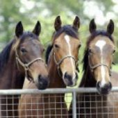 Nutrition Advice for Preparing Yearlings for Sale
