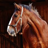 A Helping Hand for Older Horses During the Winter