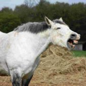Reducing Risk of Gastric Ulcers in Horses